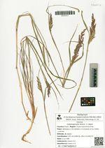 Calamagrostis tenuis  V. Vassil.