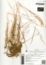 Deschampsia submutica (Trautv.) Nikiforova