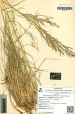Deschampsia sukatschewii (Popl.) Roshev.