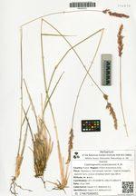 Calamagrostis purpurascens R. Br.