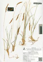 Calamagrostis holmii Lange