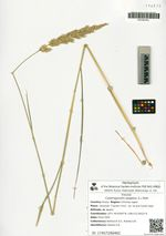 Calamagrostis epigeios (L.) Roth
