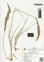 Calamagrostis macrolepis Litv.