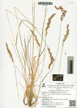Calamagrostis inexpansa A. Gray