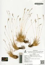 Festuca vivipara (L.) Smith