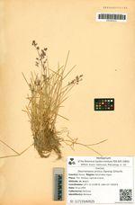 Deschampsia arctica (Spreng) Schischk.