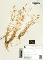 Deschampsia beringensis  Hult.