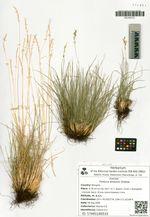Festuca lenensis Drobow