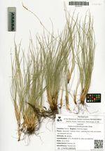 Festuca pseudosulcata Drob.