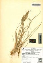 Calamagrostis sesquiflora (Trin.) Tzvelev