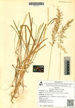 Trisetum sibiricum Rupr.