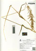 Trisetum sibiricum Rupr. var. glabra Galanin