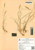 Trisetum molle Kunth
