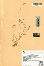 Poa paucispicula Scribn. & Merr.