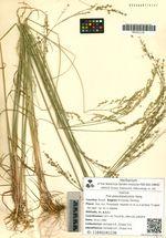 Poa pseudopalustris Keng