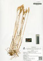 Trisetum spicatum (L.) K. Richt.