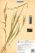 Cleistogenes chinensis (Maxim) Keng.