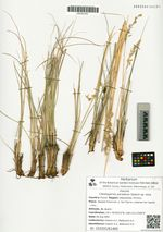 Cleistogenes paradoxa Galanin sp. nova