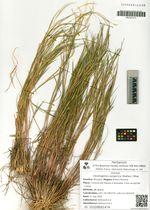 Cleistogenes songorica (Roshev.) Ohwi