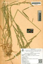 Beckmannia syzigachne (Steud.) Fernald
