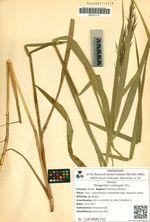 Phragmites communis Trin.