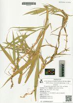 Phragmites australis (Cav.) Trin. ex Steud.