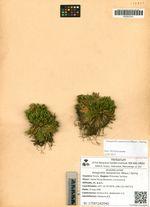 Selaginella tamariscina (Beauv.) Spring