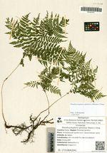 Pseudocystopteris spinulosa (Maxim.) Ching