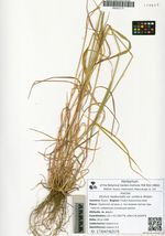 Elymus neoborealis A. Khokhr. var. viridis Galanin