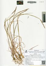 Elymus neoborealis A. Khokhr.