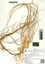 Leymus mollis  (Trin.) Hara