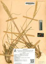 Elymus mollis (Trin.) Pilg.