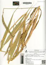Elymus dahuricus Turcz. ex Griseb subsp. latifolius Galanin