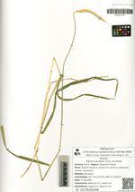 Elymus excelsus Turcz. ex Griseb.