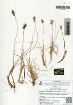 Hierochloe alpina (Sw.) Roem. et Schult. subsp. orthantha (Sorens.) Weim.