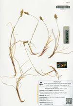 Anthoxanthum alpinum A. & D. Löve