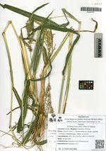 Echinochloa utilis Ohwi et Yabuno