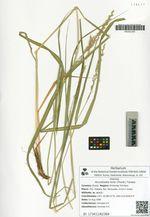 Arundinella hirta (Thunb.) Tanaka