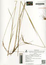 Elymus gmelinii (Ledeb.) Tzvelev