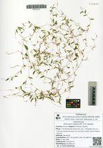 Arthraxon langsdorffii (Trin.) Roshev.