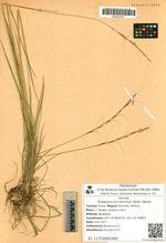 Roegneria turczaninovii (Drob.) Nevski