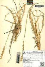 Elymus hyperarcticus (Polun.) Tzvel.