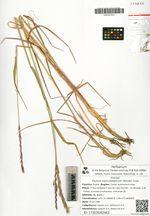 Elymus kamczadalorum (Nevski) Tzvel.