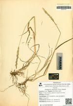 Roegneria macroura (Turcz.) Nevski