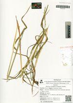 Elymus mutabilis (Drobow) Tzvelev