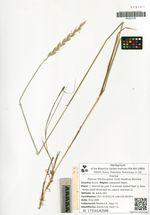Elymus trachycaulus (Link) Gould ex Shinners