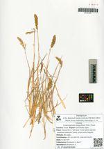 Calamagrostis sesguiflora (Trin.) Tzvel.