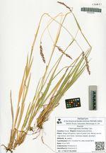 Calamagrostis korotkyi Litv.