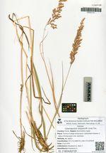 Calamagrostis langsdorffii (Link) Trin.