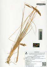 Calamagrostis lapponica (Wahlenb.) C. Hartm.